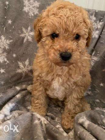 Loving Poodle Puppies