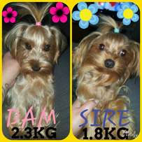 Registered Yorkshire Terriers Pocket Size ready for bookings