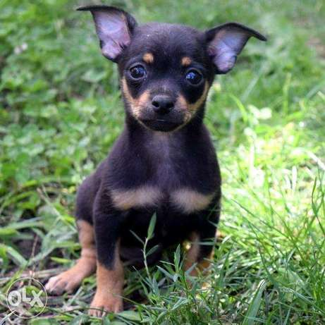 It is offered for sale a boy toy chic black tan.