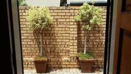 Eugenia variegated x 2 in pots. R 800 for both