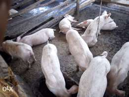 Pigs. Piglets for sale in kitengela, 5 months