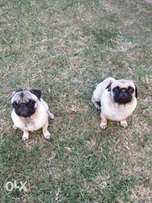 Pugs x2 Adorable boy and girl