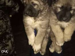 Caucasian pups available