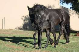 SO Friesian Colt for sale