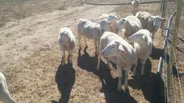White Head Dorper Lambs Males & Females