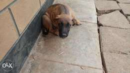 Puppies for sell