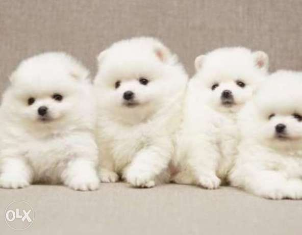 Reserve ur imported white teacup pomeranian puppy, top quality