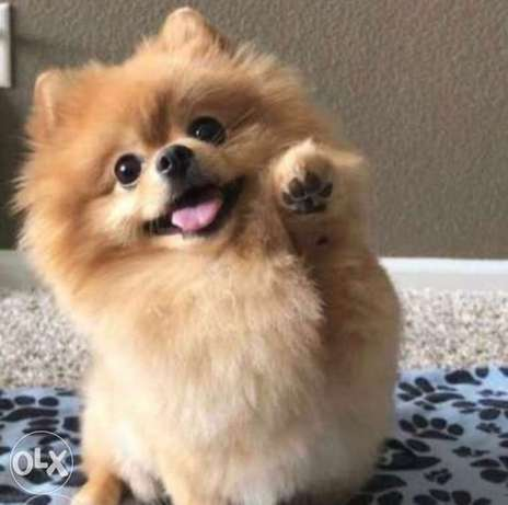 Reserve ur imported brown teacup pomeranian, top quality with Pedigree