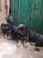 Rottweiler puppies (pure breed)