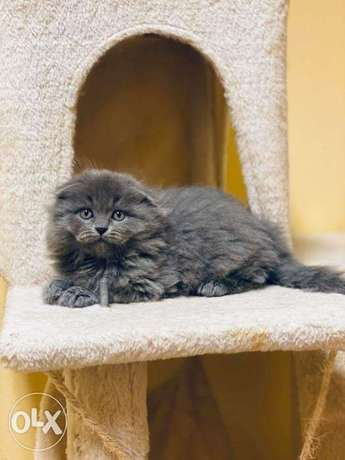 Long hair Scottish fold kittens
