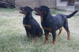 Two Rottweiler puppies for sale {Mnyama Kennels™}