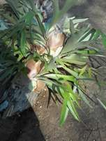 STAGHORN Plants-Durban Westville R40 Per Small Plant