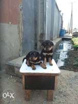 Rottweiler puppies for sales