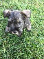 Schnauzer Puppies only 2 males left