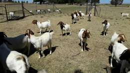 Boer and kalahari red goats for sale