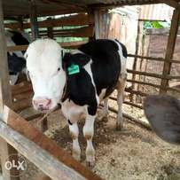 Daily cow's & in calf heifers 3to 8months