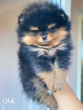 Imported teacup pomeranian puppies, rare color.. PREMIUM QUALITY