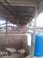 Distressed sale Pig farm for sale at largest pig farm in Africa Oke ar