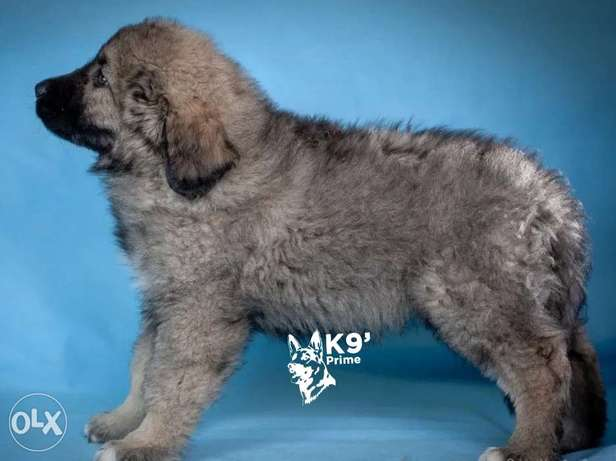 Caucasian Shepherd (kavkaz) imported puppies available for sale