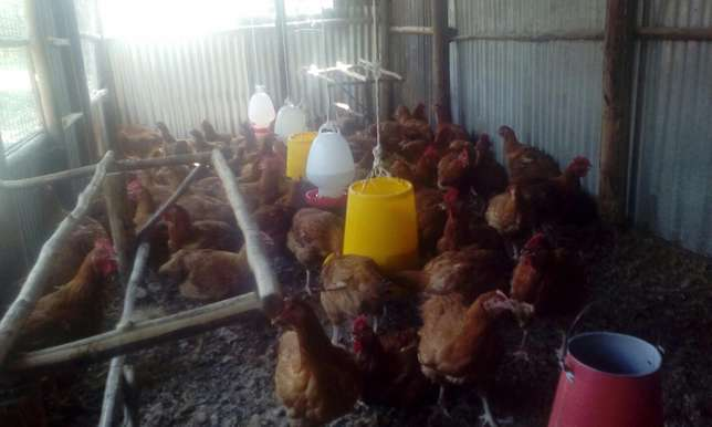 Sell of chicken Kisumu CBD - image 5