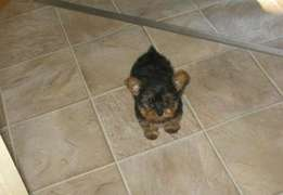 Yorkie pups on sell now
