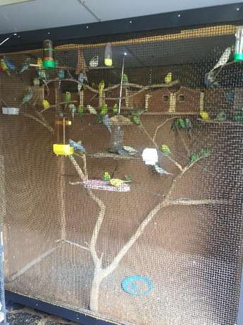 Budgies for Sale - R50 each Westville - image 1