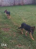 4 months male Gsd puppies