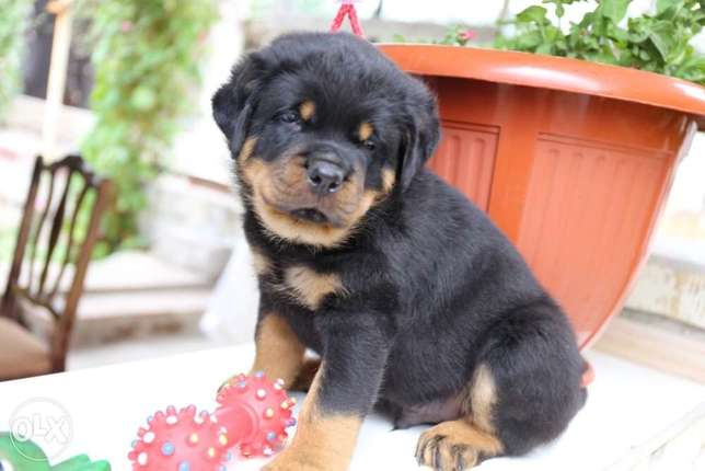 High Quality Rottweiler Puppies