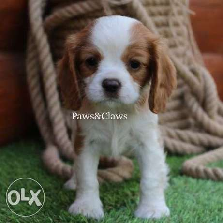 Cavalier King Charles Spaniel for sale. There are still boys