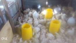 2kg broilers read to be consumed