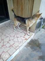 100%pure breed German shepherd for sale at a cheaper rate