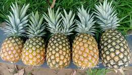 Fresh Pineapples for wholesale