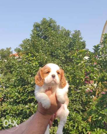 Cavalier King Charles Very High Quality Imported From Europe