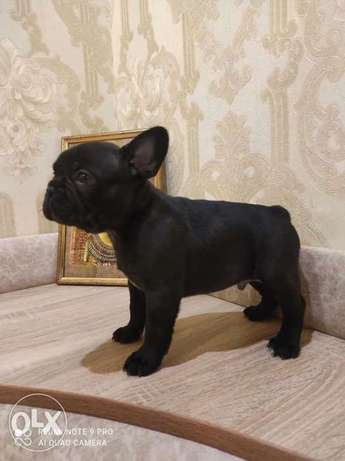 Now You Can Get Frensh Bulldog puppy From Best kennel in Ukrainian