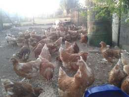 Hens- Point of lay hyline pullets