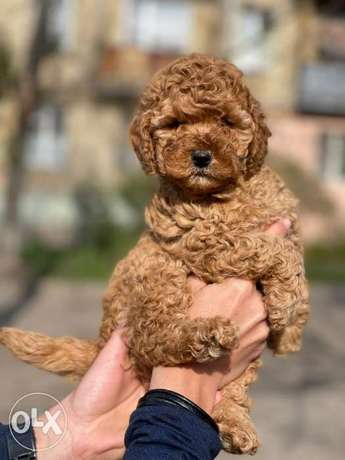 Dark Red Toy Poodle Imported From Ukraine Full Documents