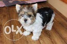 Biewer Yorkshire terrier puppies ready to go!!
