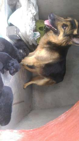 German shephard puppies for sale Roysambu - image 7