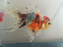 Frontosa and Gold fish for sale