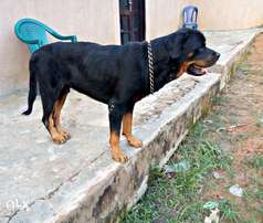 Pedigree Rottweiler for STUD/MATING