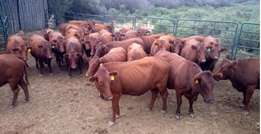 Bonsmara Cattle and Calves Available for breeding and slaughtering