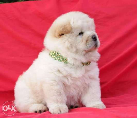 Imported chowchow puppies, highest quality and best price