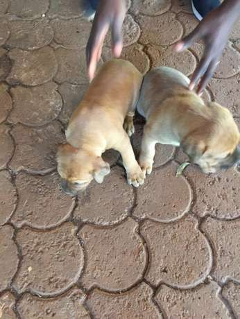 Bull dog puppies Runda - image 4