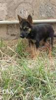 Top Notch german shepherd dogs(pups and adults)