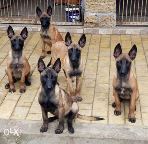 Malinois Puppies, imported, top quality with Pedigree