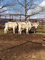 Young Brahaman Heifers Males & Females