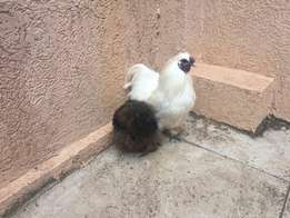 Pigeons for sell