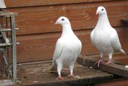 White Racing Pigeons for sale