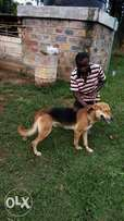 German Shephard and Rottweiler mix. Uriri, Migori County.