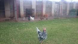 Chickens For Sale (Egg laying)